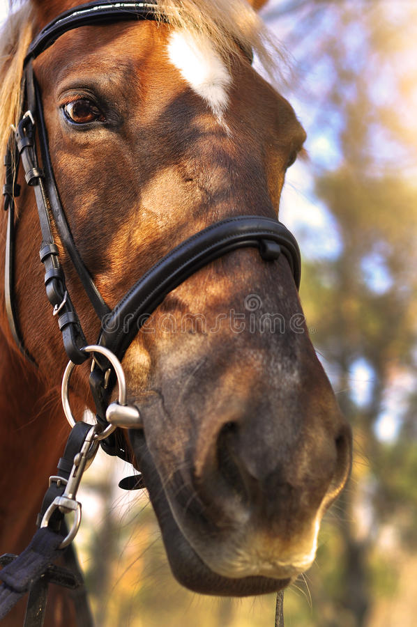 Head shot of a beautiful brown horse wearing bridle in the pinfold.  stock photo