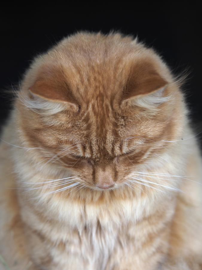 Beautiful Ginger Cat. A head shot of a beautiful ginger tom cat looking down stock photography