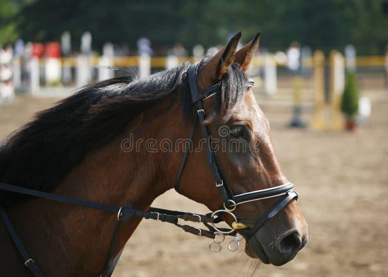 Head shot of a beautiful purebred show jumper horse stock images