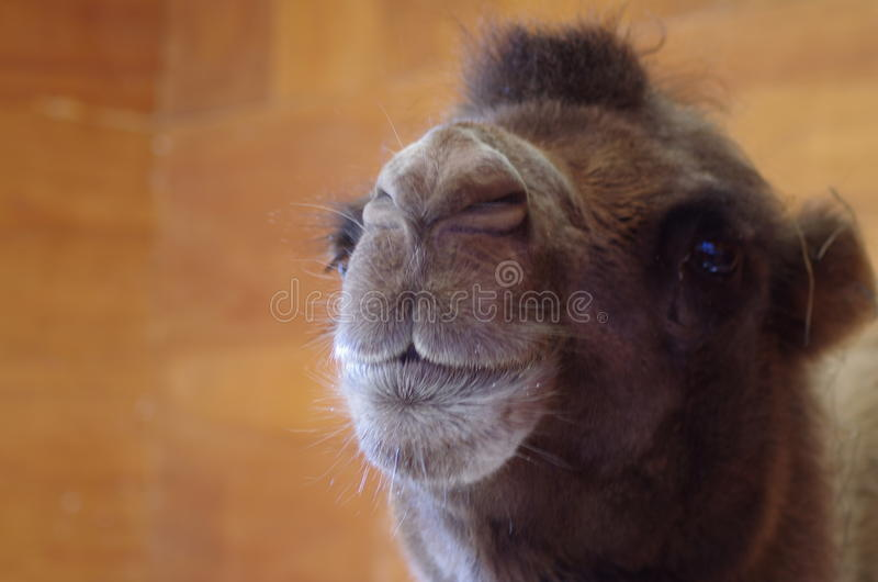 Head Shot of Camel royalty free stock photos