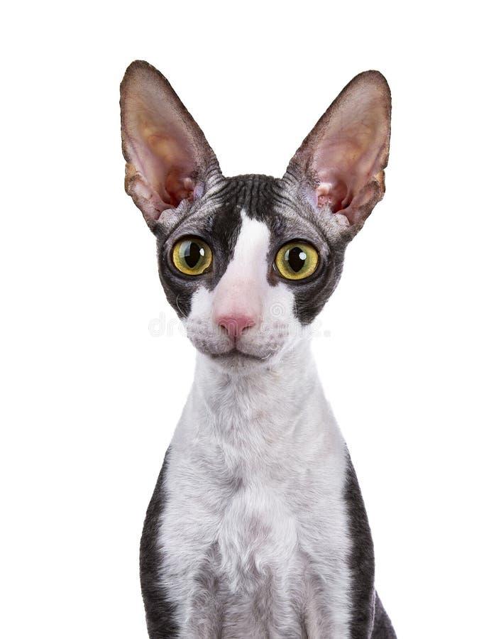 Head shot of Cornish Rex cat stock image