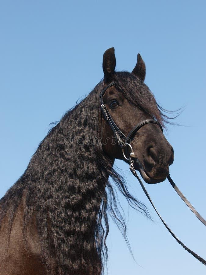Head Shot Of Friesian Horse stock photography