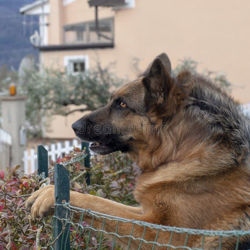 Head shot of German Shepherd or Alsatian dog outdoors in garden. Beautiful dog. stock photography