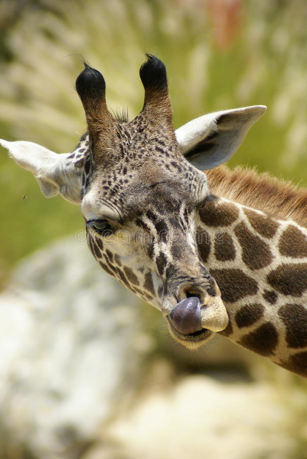 Download Head Shot Of A Giraffe Stock Photography - Image: 26404452