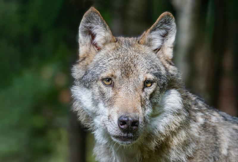 Head shot of grey wolf Canis lupus Wildlife photo royalty free stock photography