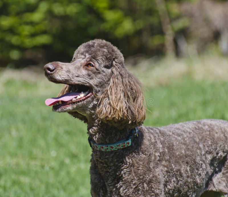 Happy Dog Brown Standard Poodle. Closeup of a happy dog brown standard poodle looking up with clean white teeth stock image