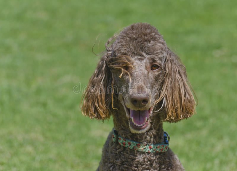 Happy Dog Brown Standard Poodle. Closeup of a happy dog chocolate brown standard poodle with clean white teeth stock photo