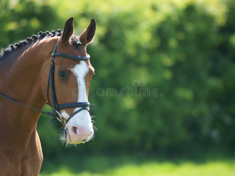 Head Shot of Horse Doing Dressage. A head shot of a horse during a dressage competition royalty free stock image