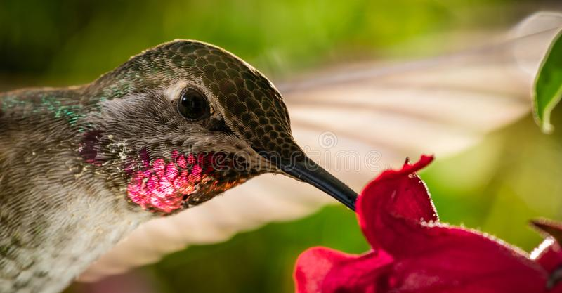 Head shot of hummingbird with reflective red chin. This is a head shot of a hummingbird with reflective red chin stock photography
