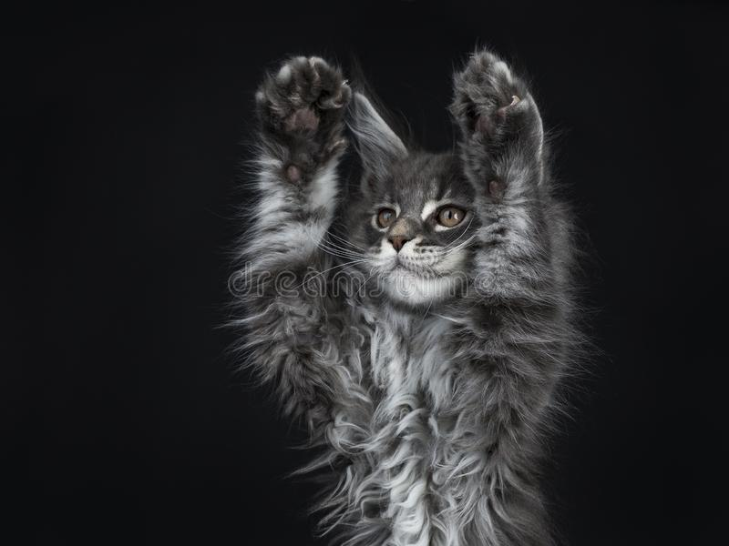Impressive blue silver Maine Coon cat kitten, Isolated on black background. royalty free stock images