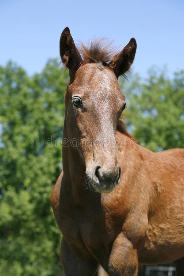 Head shot of a newborn thoroughbred filly at beautiful animal ranch. Thoroughbred young horse posing on the green meadow summertime. Portrait of a purebred young stock image