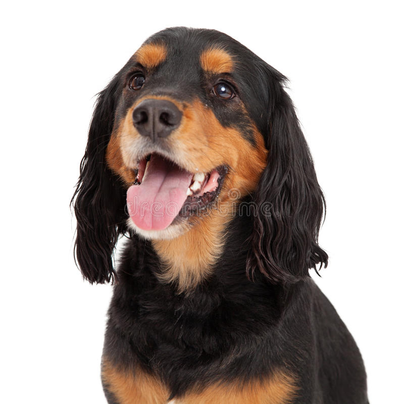 Free Head Shot Of Gordon Setter Mix Breed Dog Royalty Free Stock Images - 46550699