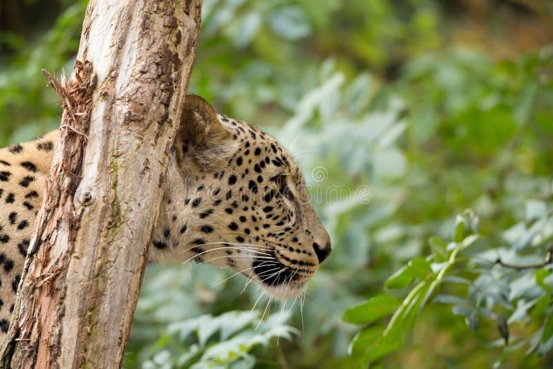 Head shot of Persian leopard stock image