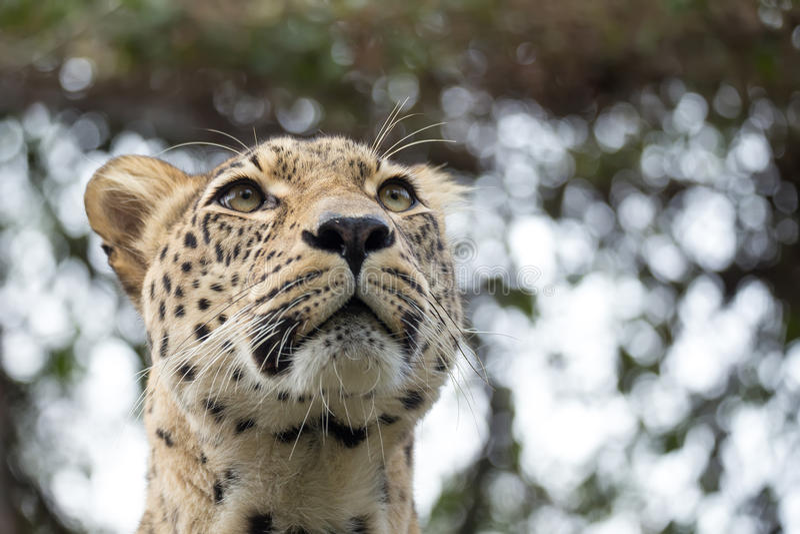 Head shot of Persian leopard royalty free stock photos