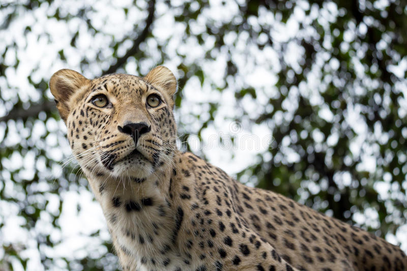Head shot of Persian leopard royalty free stock photography