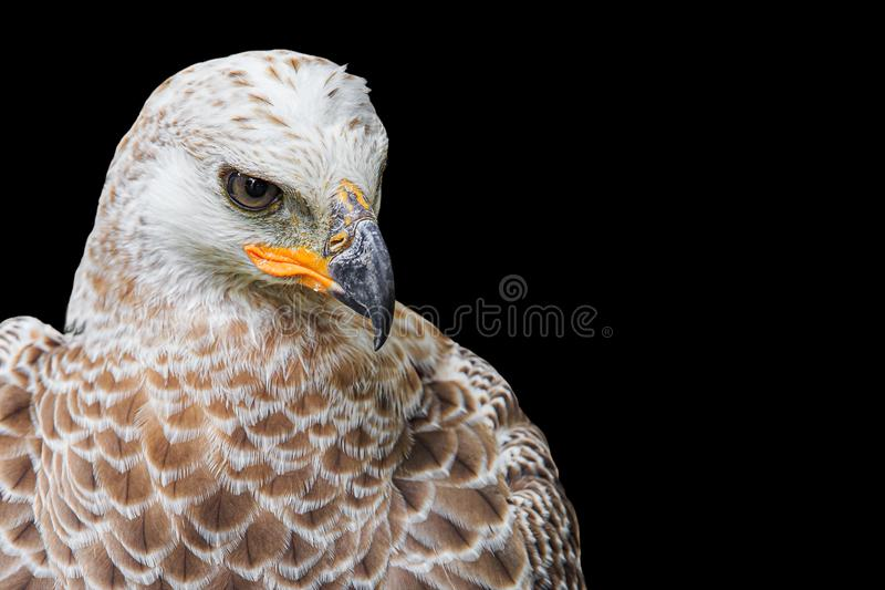 Head-shot portrait of single isolated hawk with strong yellow beak looking angry, grim or serious on black background. Head-shot portrait of a single isolated stock images