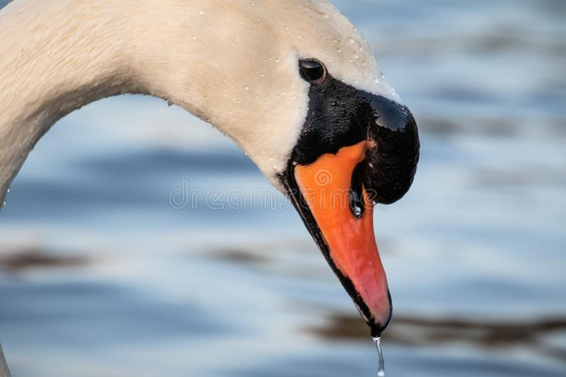 Head shot portrait of a white swan royalty free stock photo