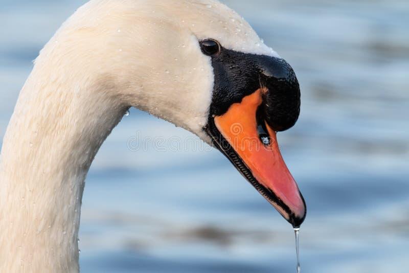 Head shot portrait of a white swan stock photos