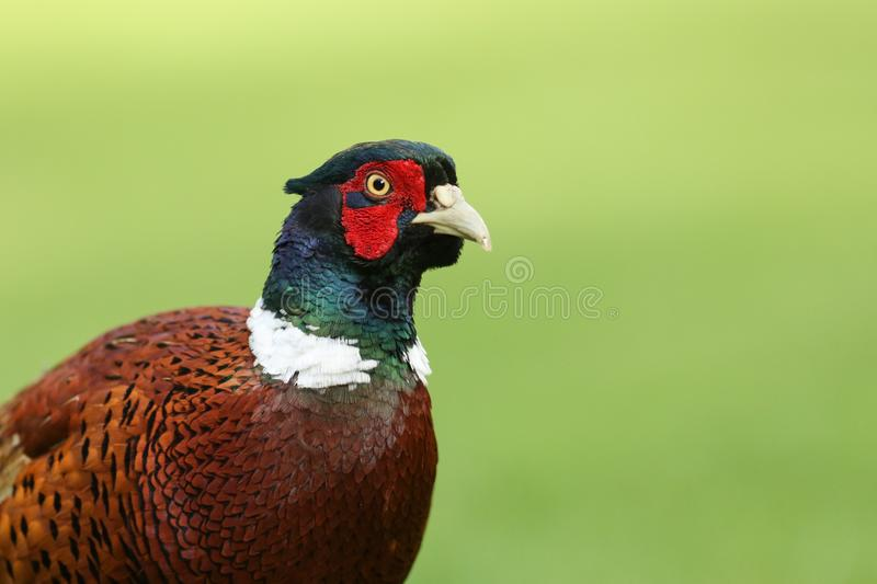 A head shot of a stunning male Pheasant, Phasianus colchicus. A head shot of a pretty male Pheasant, Phasianus colchicus, against a green background royalty free stock photos