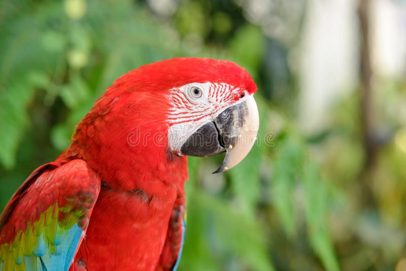 Head shot of Scarlet macaws Ara macao with blurred trees. In the background royalty free stock photography
