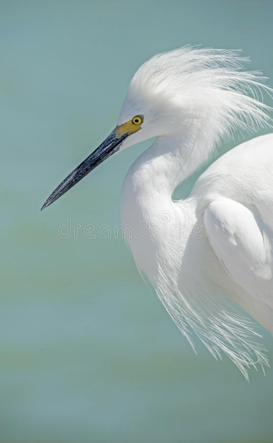 Close up head shot of a Snowy Egret with a light blue background. royalty free stock photography