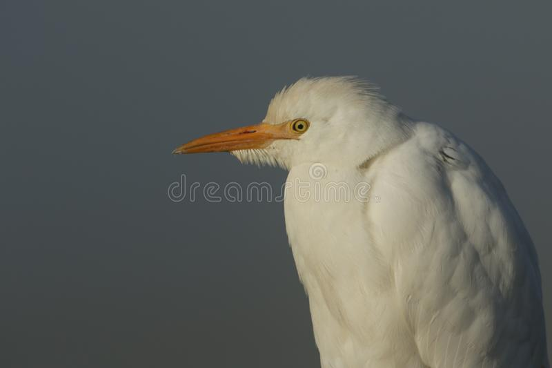 A head shot of a stunning rare Cattle Egret, Bubulcus ibis, on a cold misty frosty winters morning. stock photo