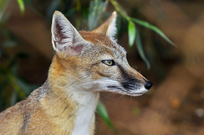 A head shot of a stunning Red Fox royalty free stock image