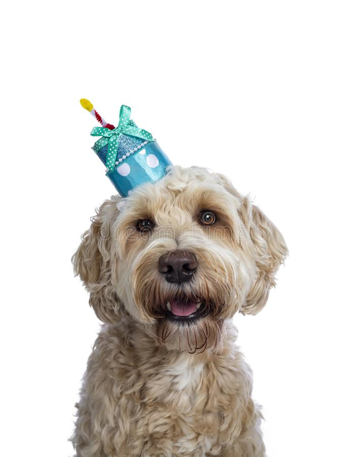 Head shot of Labradoodle on white. Head shot of sweet young adult female silky Labradoodle wearing blue birthday cake hat, looking straight to camera with brown royalty free stock photos