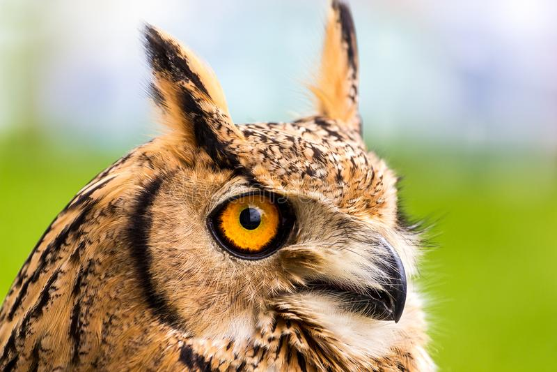 Head shot of Tufted ear owl stock photo