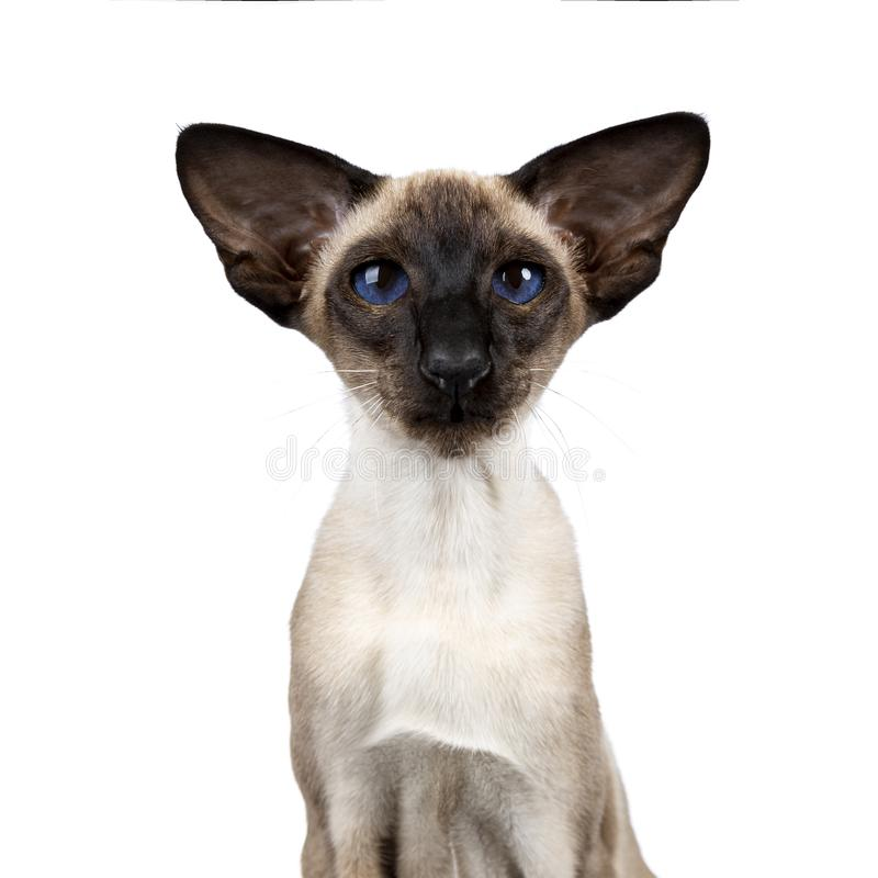 Excellent seal point Siamese cat isolated on white background. Head shot of xcellent seal point Siamese cat kitten front view looking straight in lense, isolated royalty free stock images