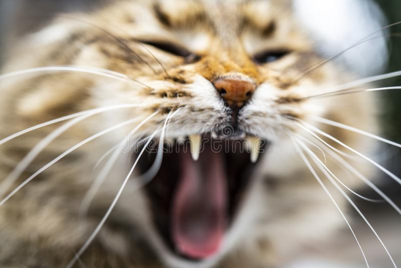 Head shot of yawning red tabby with white Maine Coon kitten royalty free stock photos
