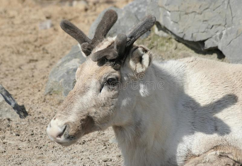 Head Shot of Young Caribou stock images