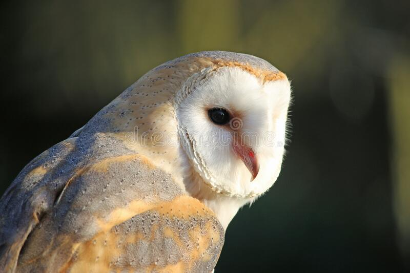 Head and shoulders of a barn owl royalty free stock photo