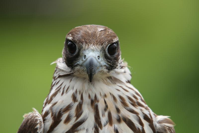 Head & Shoulders close up of a Hawk staring at the camerawith big brown eyes royalty free stock photos