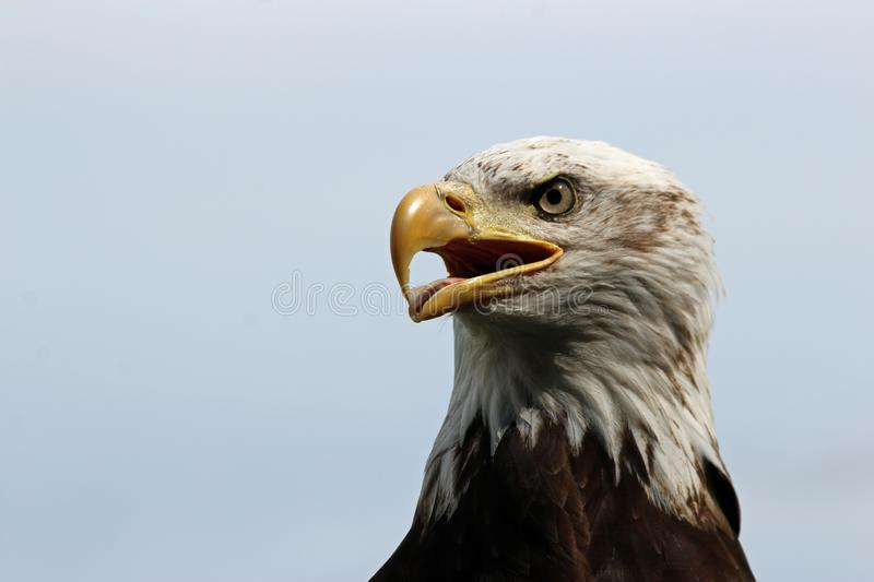 Head and shoulders of a sub-adult American bald eagle stock photo