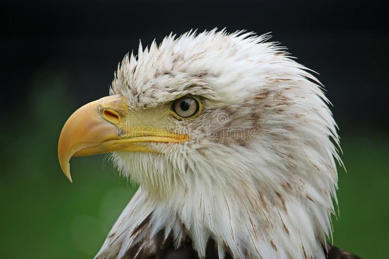 Head and shoulders of a sub-adult American bald eagle stock image