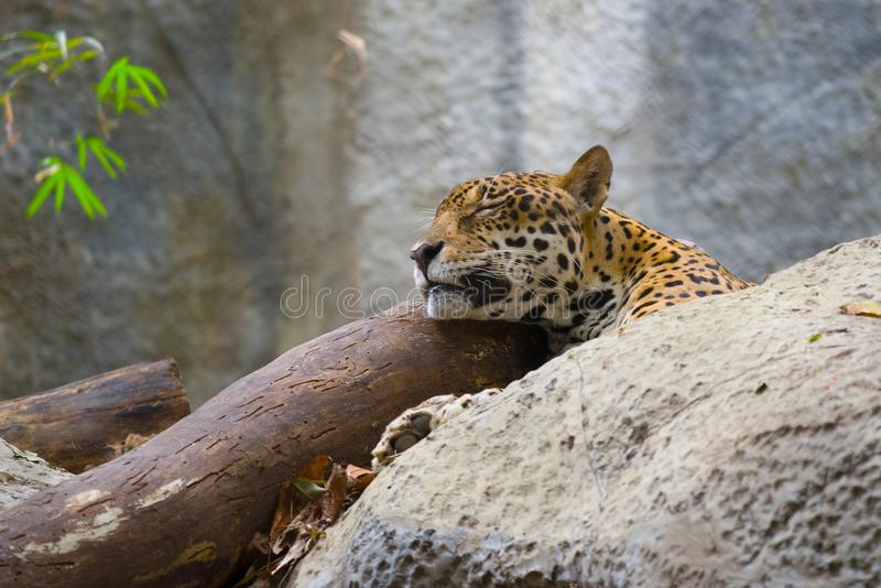 Head of a sleeping leopard royalty free stock photo
