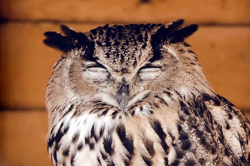 Head of a sleeping owl closeup. Great horned owl standing with eyes closed stock photography