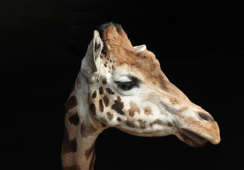 Head slut för giraff upp mot svart bakgrund arkivbild