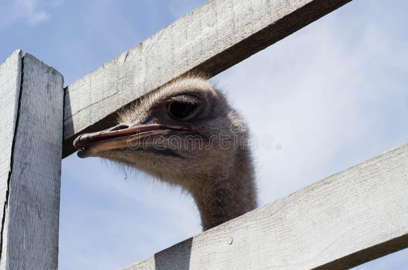 Head slut för struts upp på strutslantgården Strutsen eller typ är på royaltyfria foton
