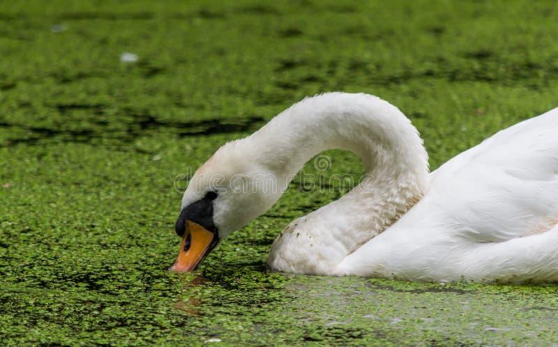Head slut för svan upp i alger täckt vatten royaltyfria foton