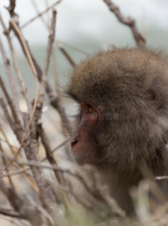 Head of Snow Monkey Facing Left. Close up of the head only of a snow monkey or Japanese macaque facing left sitting among branches. Shallow depth of field royalty free stock photography