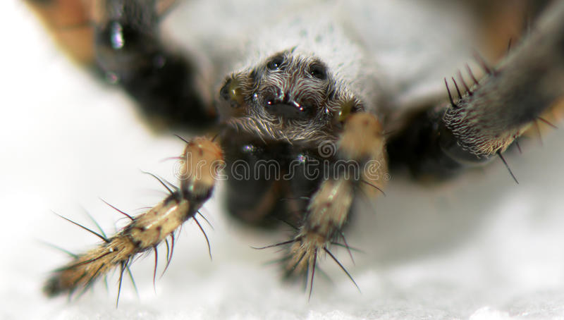 Head Of The Spider Royalty Free Stock Images