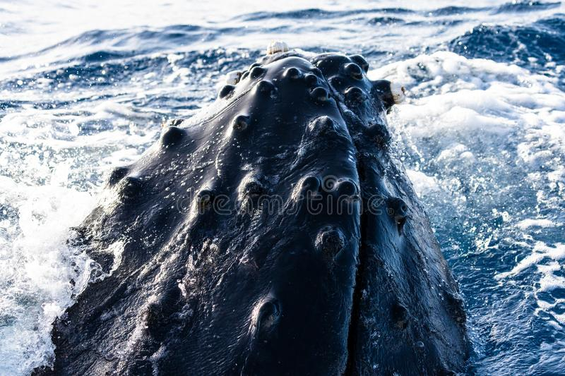 Head of a spyhopping humpback whale stock images