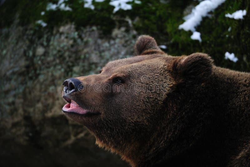 Head stående för brunbjörn i vinter arkivfoto