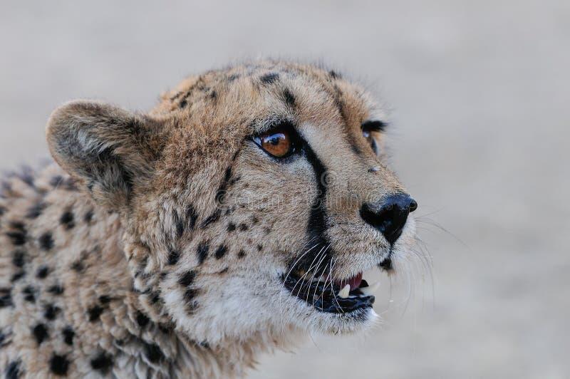 Head stående för gepard med flugan royaltyfri bild