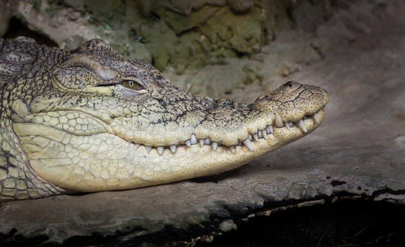Head stående för krokodil arkivbild