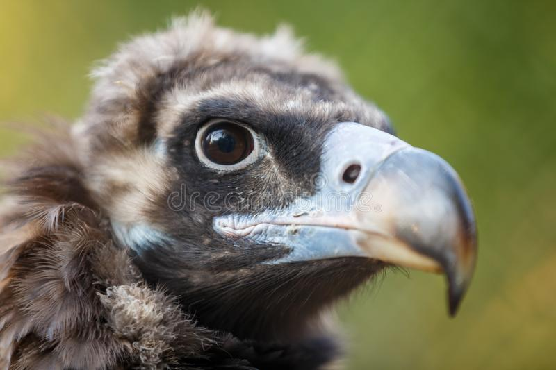 Head of a steppe eagle aquila rapax, nipalensis close-up on a green background stock photo