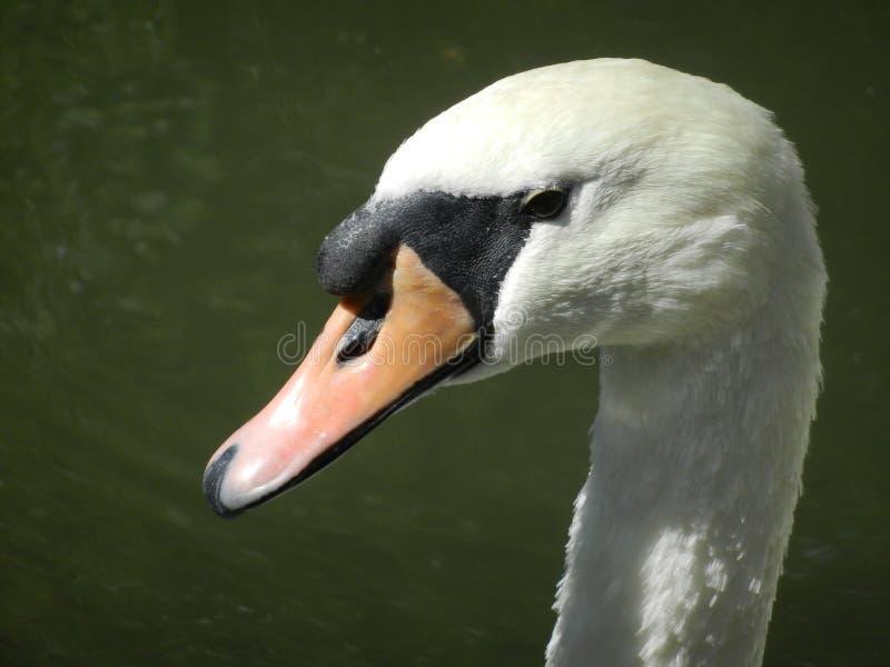 head swanwhite fotografering för bildbyråer