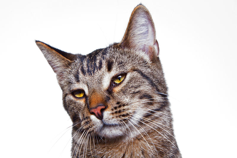 Head of a tabby cat royalty free stock images
